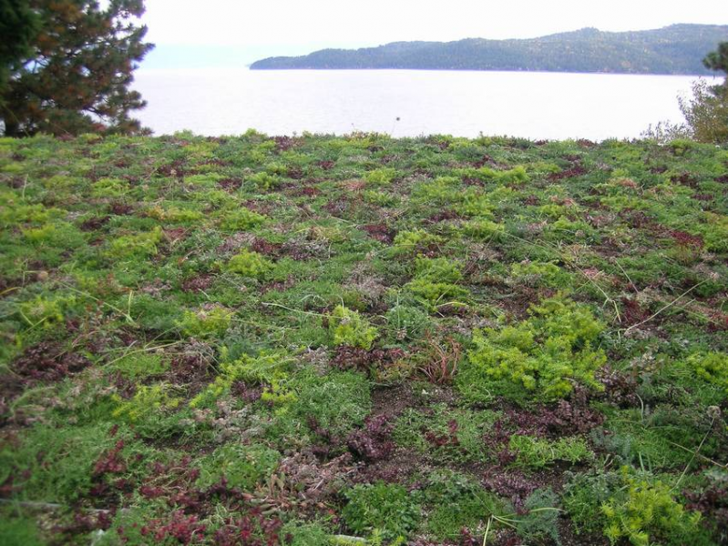 Sandpoint Id Sedum Allium Mix Green Roof